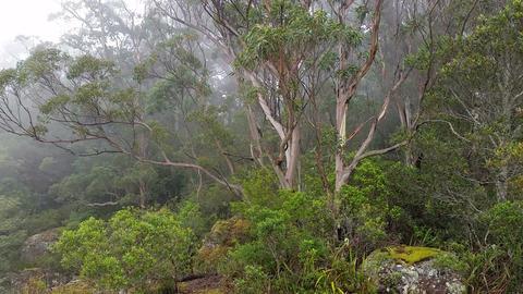 Fog rolling in eucalypt rainforest Australia landscape Footage