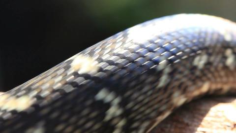 Snake Reptile Diamond Python Footage