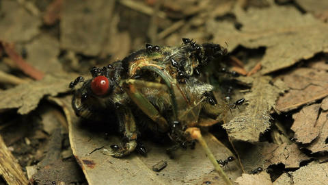 Cicada Eaten by Ants 1 Live Action