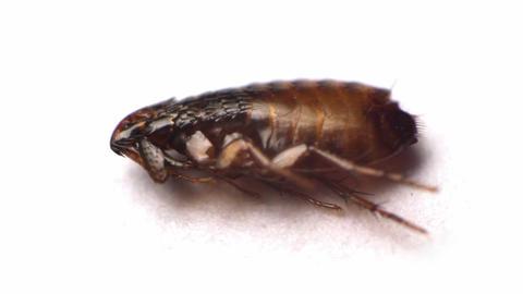 Flea Insect Macro Video Footage