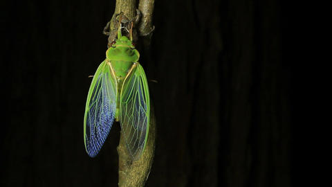 Cicada Enclosing - Cicadinae australasiae Live Action