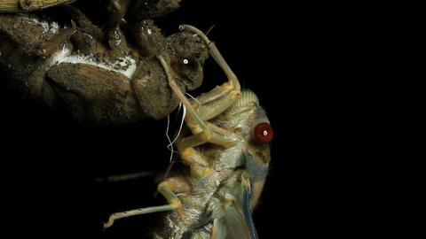 Cicada Enclosing - Cicadinae australasiae 1 Live Action