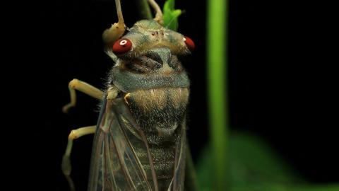 Cicada Enclosing - Cicadinae australasiae 12 Live Action