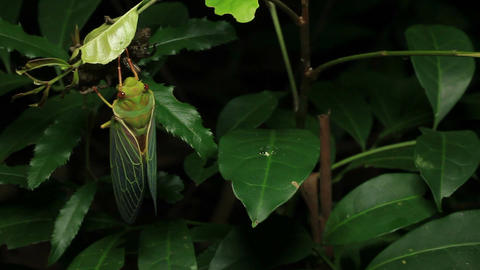 Cicada Enclosing - Cicadinae australasiae 14 Live Action