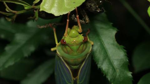 Greengrocer Cicada - Cicadinae australasiae 15 Live Action