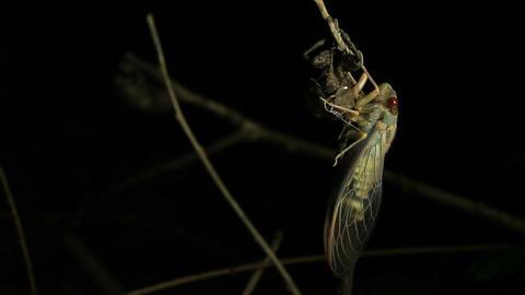 Cicada Enclosing - Cicadinae australasiae 2 Live Action