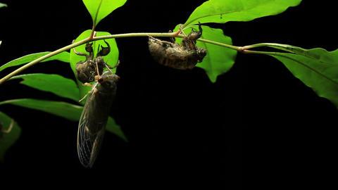 Cicada Enclosing - Cicadinae australasiae 5 Live Action