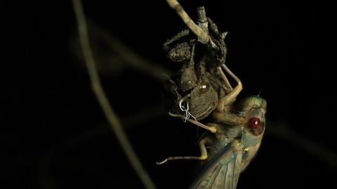 Cicada Enclosing - Cicadinae australasiae 3 Live Action