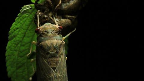 Cicada Enclosing - Cicadinae australasiae 9 Live Action