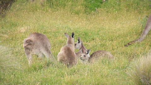 Kangaroo Wallaby Troop - Australian Wildlife Footage