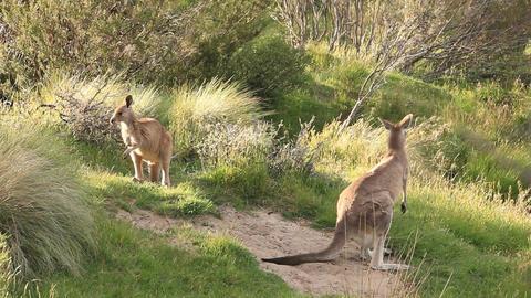 Kangaroos - Australian Wildlife Footage