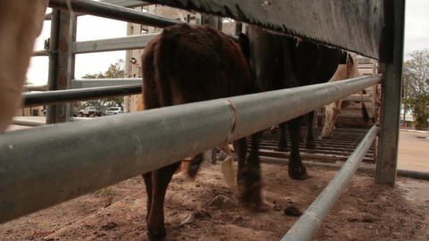 Cattle Cows loading onto Truck Footage