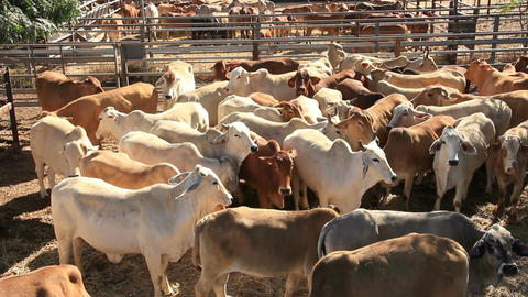 Cattle Cows in Sale Yard Pens Footage