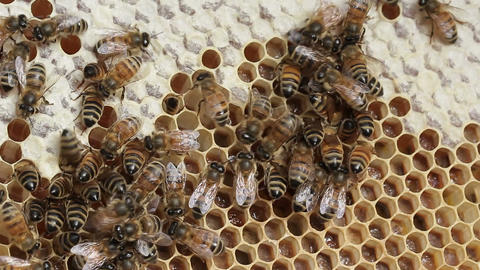 Honey bee macro footage of bee hive and honey production beekeeper Footage