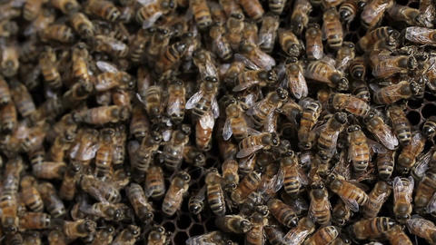 Queen Bee Macro In Honey Bee Hive stock footage