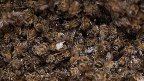 Dead Bees in honey bee hive / pests and diseases Footage