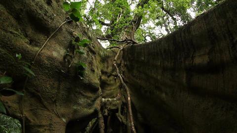 Fir tree roots - Temperate Rainforest Australian Landscape Footage