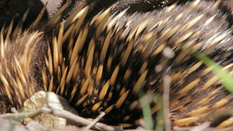 Echidna - Australian egg-laying Monotreme Live Action