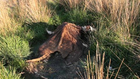 Dead Animal 'Cow' Carcass stock footage