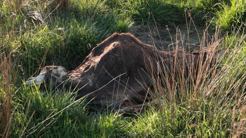 Dead Animal Carcass Footage