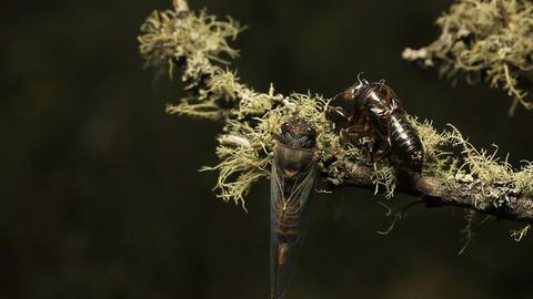 Cicada- Golden Twanger, Diemeniana euronotiana, Live Action