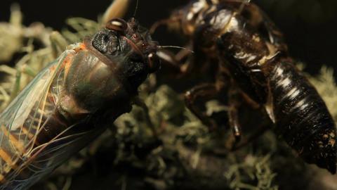 Cicada- Golden Twanger, Diemeniana euronotiana Live Action