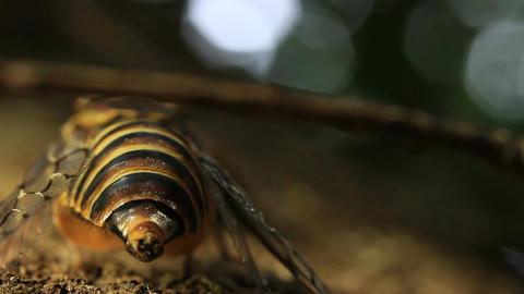 Cicada calling / singing on tree Live Action