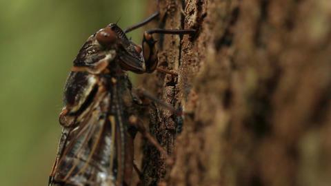 Cicada Feeding on tree Live Action