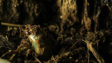 Cicada emerging from the earth Live Action