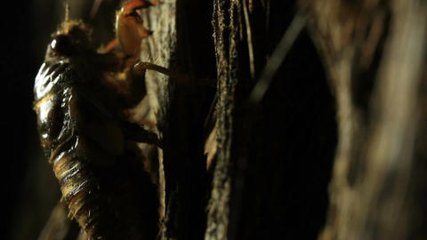 Cicada nymph climbing tree Live Action