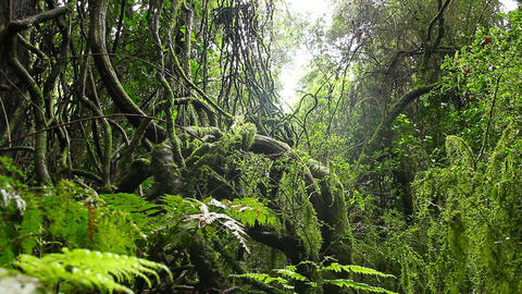 Old Growth Rainforest - Australian Landscape Footage