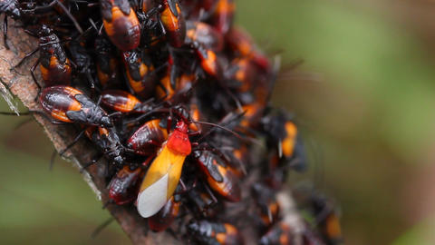 Assassin Bug Group Molting Live Action