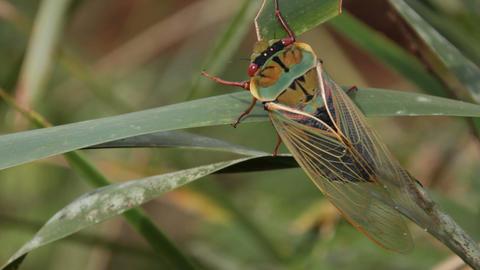 Cicada - Cicadidae Live Action
