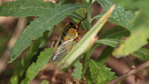 Masked Devil / Yellow Monday Cicada - Cicadidae Live Action