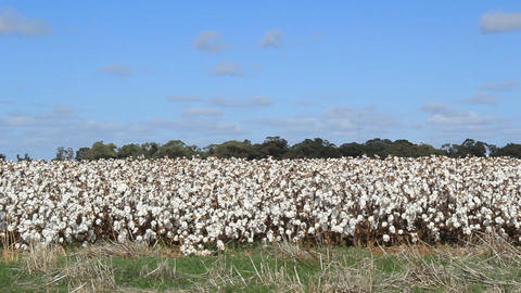 Cotton field farm material used in textiles Footage