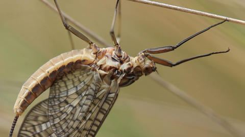 Mayfly Insect Footage Live Action
