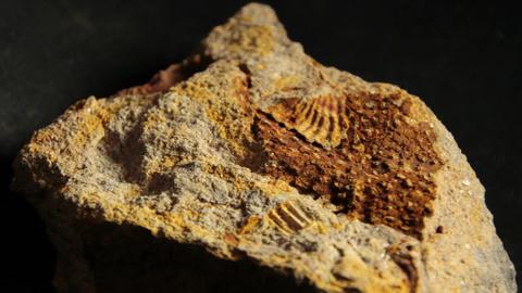 Paleontology prehistoric Bryozoa fossil. An extinct Permian sea creature Footage