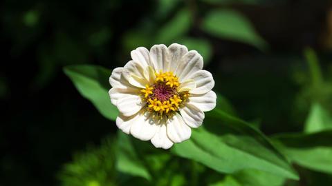 Zinnia flower, also Tsiniya (lat. Zínnia) Footage